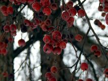 Apples on a tree in winter Stock Photography