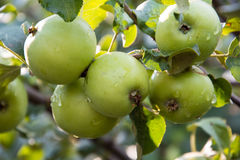 Apples on the tree. Young green apples on Apple tree branch Stock Image