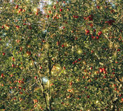 Apples in Trees. Dense growth of apples in trees Stock Photo