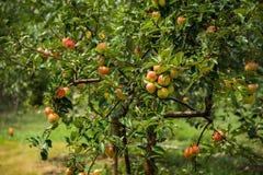 Apples trees Stock Image