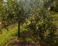 Apples trees Royalty Free Stock Photography