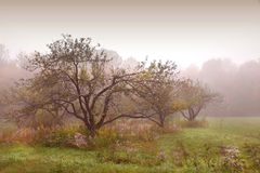 Apples trees in the mist Stock Image