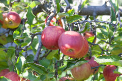 Apples on the twig Royalty Free Stock Images