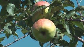Apples. stock video