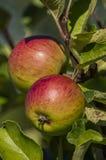Apples. Two apples on the tree, organic farming Stock Photos