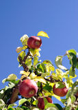 Apples Up. Several ripe honey crisp apples hang from an apple tree at a farm near Rochester, NY Stock Photo