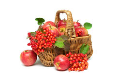Apples and viburnum berries in a basket on a white background Stock Image