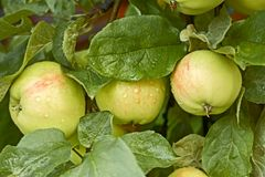 Apples with water drops on the tree Stock Photos