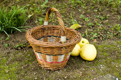 Apples and wicker basket. Yellow apples with wicker basket Stock Photography