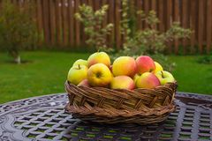 Apples in a wicker basket. In garden stock images
