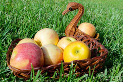 Apples. Apples in a wicker basket on the grass stock images