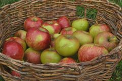 Apples in the basket. Apples in a wicker basket harvest Royalty Free Stock Images