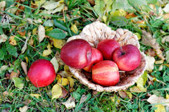 Apples in a wicker basket among  leaves Stock Photography