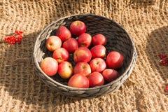 Apples in a wicker basket. Ripe apples in a wicker basket stock photography