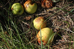 Apples from wild tree. Stock Images