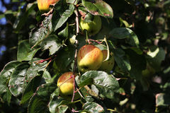 Apples on wild tree outdoors. Royalty Free Stock Photography