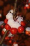 Apples in winter Stock Image
