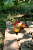 Apples on a wooden bench. In a wild garden Royalty Free Stock Photo