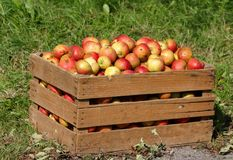 Apples in a wooden box. Red farmer's apples in a wooden box Stock Photo