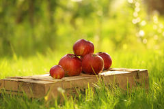 Apples on the wooden box. Mountain of apples standing on the wooden box in green grass in the garden. Summer color image. Circle bright bokeh. Five red apples Stock Image