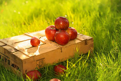 Apples on the wooden box. Mountain of apples standing on the wooden box in green grass in the garden. Summer color image. Circle bright bokeh. Five red apples Royalty Free Stock Photos