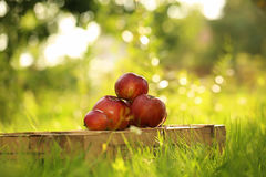 Apples on the wooden box. Mountain of apples standing on the wooden box in green grass in the garden. Summer color image. Circle bright bokeh. Four red apples Royalty Free Stock Photo