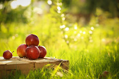 Apples on the wooden box. Mountain of apples standing on the wooden box in green grass in the garden. Summer color image. Circle bright bokeh. Fourred apples Royalty Free Stock Photography