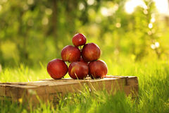Apples on the wooden box. Mountain of apples standing on the wooden box in green grass in the garden. Summer color image. Circle bright bokeh. Six red apples Royalty Free Stock Images