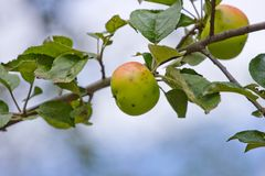 Apples with wormholes at branch of tree Stock Image