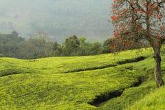 Appletree在乌干达 库存图片