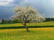Appletree άνθισης σε ένα λιβάδι νεραγκουλών, stormine Στοκ εικόνα με δικαίωμα ελεύθερης χρήσης