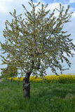 Appletree ανθίσματος στους τομείς συναπόσπορων Στοκ φωτογραφία με δικαίωμα ελεύθερης χρήσης