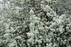 Appletree весны стоковое фото