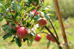 Appletree Royalty Free Stock Photography