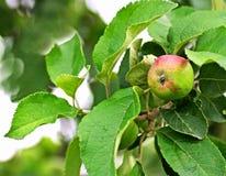 Appletree Στοκ Φωτογραφία