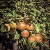 Appletree immagini stock