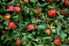 Appletree 3428 royalty free stock photo
