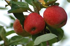 Appletree 3429 Stock Image