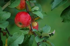 Appletree 3431 Stock Images