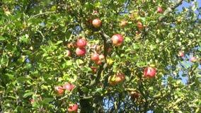 Appletree stock video