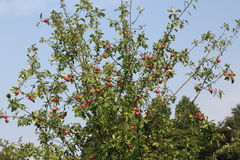 Appletree Fotografie Stock