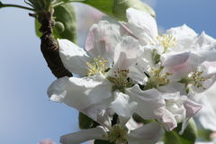 Appletree Royaltyfria Foton