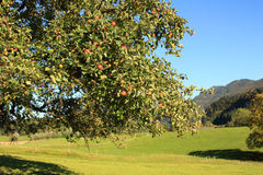 Appletree Stock Images