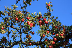 Appletree Stock Image