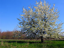 appletree Royaltyfria Bilder