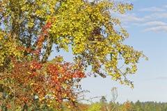 Appletree Στοκ φωτογραφία με δικαίωμα ελεύθερης χρήσης