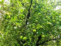 Appletree Στοκ εικόνα με δικαίωμα ελεύθερης χρήσης