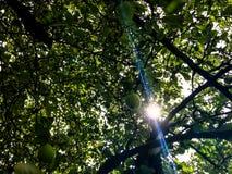 Appletree Royaltyfri Foto