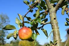 Appletree. Apple tree blue sky Stock Photos
