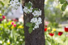 Appletree and apple tree flowers in spring , tulips in garden in. Appletree and apple tree flowers in spring ,tulips in garden in background.Latvia Stock Photos